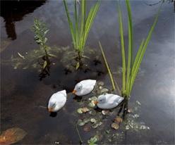 eendenkuiken wit